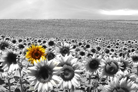 10083017 - sunflower field all black & white except a single flower